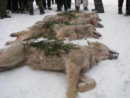 Caza del Lobo en Batidas